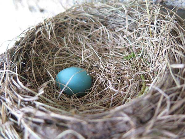 Robin Egg first