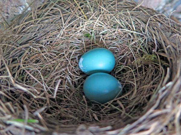 Robin Egg second