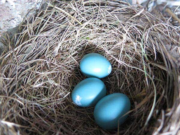 Robin Egg third