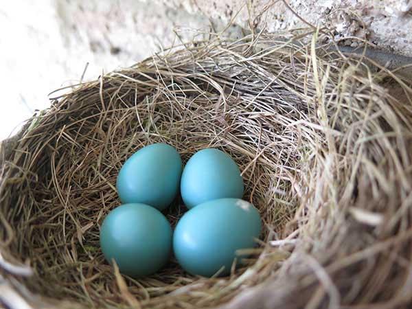 Robin Egg fourth