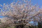 桃色、春色、桜色 カナダでお花見に行こう ー Cherry Blossom in Canada