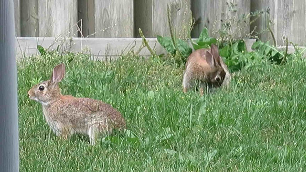 Rabbit Parent
