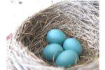 ロビン鳥のひなの観察 巣立ちの日 ー Baby Robin from Egg to Leaving the Nest part2