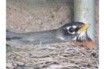 ロビン鳥のひなの観察 ー Baby Robin from Egg to Leaving the Nest
