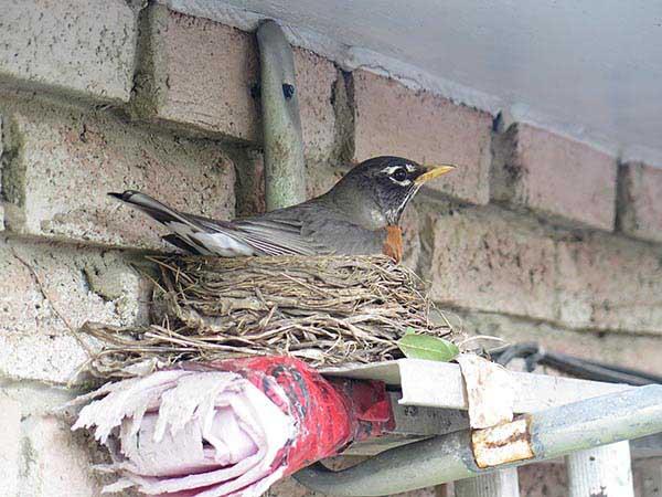 Mother robin on her nest