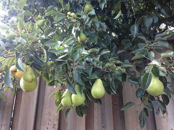 pear tree3