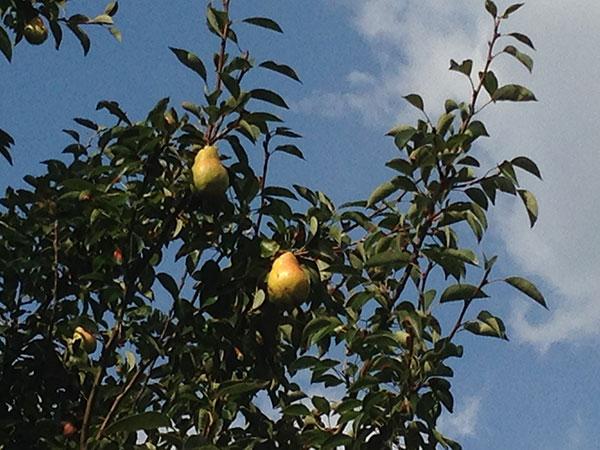 pear tree5