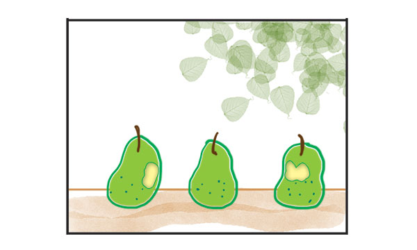 pears on a fence